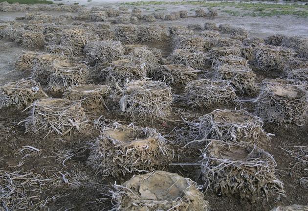 гнезда-бакланов